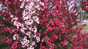 Rosa Manuka blommar fullvuxet i Nya Zeeland Royaltyfria Foton