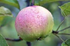 Rosa - manzana verde con las gotitas de agua en manzano Foto de archivo libre de regalías