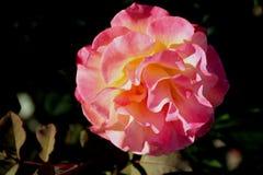 Rosa `-Mardi Gras `, arkivbilder