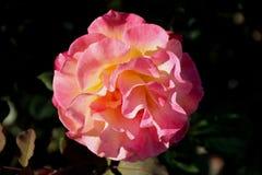 Rosa `-Mardi Gras `, arkivfoto