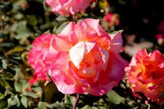 Rosa `-Mardi Gras `, arkivbild