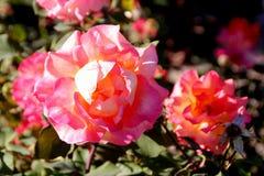 Rosa `-Mardi Gras `, royaltyfria bilder