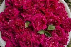 Rosa matura del tè dei fiori raccolta per inceppamento Fotografia Stock Libera da Diritti