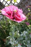 Rosa med rysch och pysch vallmo i trädgård Royaltyfria Foton
