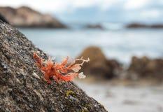 Rosa Meerespflanze auf dem Felsen Stockfotografie