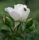 Rosa 'Meicoublan' WHITE MEIDILAND Royalty Free Stock Image