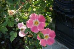 Rosa-` MEIpoque-`, rosa Meidiland Rose Lizenzfreie Stockfotos