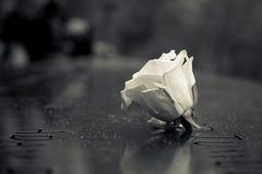 Rosa memorável Imagem de Stock