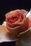 rosa menchie wzrastali Zdjęcia Stock