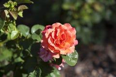 Rosa a Merrick Rose Garden Fotografia Stock Libera da Diritti