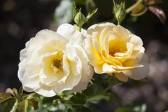 Rosa a Merrick Rose Garden immagine stock