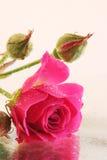 Rosa met de bezinning Stock Foto's