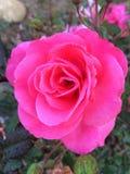 Rosa mexicano Zdjęcia Stock