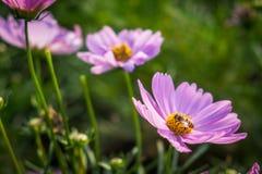 Rosa mexicansk aster med biet i trädgården Fotografering för Bildbyråer