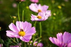 Rosa mexicansk aster med biet i trädgården Royaltyfri Fotografi