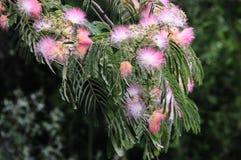 Rosa mimosaträd, Albiziajulibrissin Royaltyfri Foto