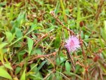 Rosa Mimose Stockfoto