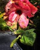 Rosa minguante do rosa Imagem de Stock