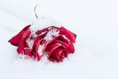 Rosa minguante do vermelho na neve branca Imagem de Stock Royalty Free