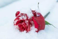 Rosa minguante do vermelho na neve branca Fotografia de Stock