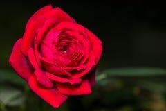 Rosa miniatura del rojo foto de archivo libre de regalías