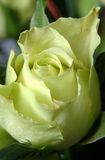 Rosa miniatura gialla Fotografie Stock