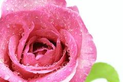 Rosa-Mischling Stockbilder