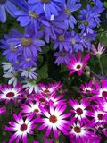 Rosa mit blauen Blumen stockfoto