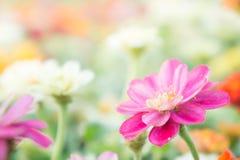 Rosa mit Blumen im Garten, Blume Zinnia elegans, Farbnatur-BAC Stockfotografie