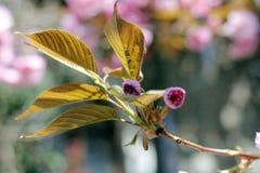 Rosa mjukhet av Sakura, en fantastisk start som fjädrar Mjuka färger av skönhetsäsongen royaltyfri bild