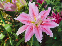 Rosa mjukt av liljan Arkivfoto