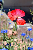 Rosa Mohnblume auf dem Blumen-Gebiet Lizenzfreies Stockbild