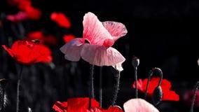 Rosa Mohnblume Mohnblumenidylle Nachtschießen von Farben Blumen im Mondschein Zeitlupe einer Honigbienenlandung auf einer Blüte stock video footage