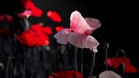 Rosa Mohnblume Mohnblumenidylle Nachtschießen von Farben Blumen im Mondschein Zeitlupe einer Honigbienenlandung auf einer Blüte stock video