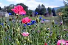 Rosa Mohnblumen auf dem Blumen-Gebiet Stockfotografie