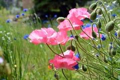 Rosa Mohnblumen auf dem Blumen-Gebiet Stockfotos
