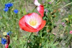 Rosa Mohnblumen auf dem Blumen-Gebiet Stockfoto
