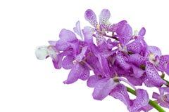 Rosa mokara Orchideen lokalisiert auf weißem Hintergrund Lizenzfreie Stockfotos