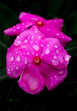 Rosa molhado Fotografia de Stock Royalty Free