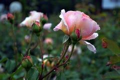 Rosa molto delicata e bella di colore rosa-chiaro nel parco della città immagine stock