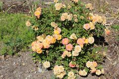 Rosa moschata royalty-vrije stock afbeelding