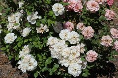 Musk rose white and light pink stock photo
