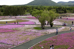 Rosa mossa på Mt fuji Arkivfoto