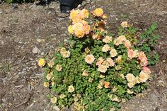 Rosa mossa Portulaca grandiflora 8 arkivfoto