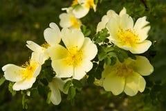 Rosa multiflora Arkivbild