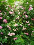 Rosa multiflora Royaltyfri Bild
