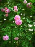Rosa multiflora Fotografering för Bildbyråer
