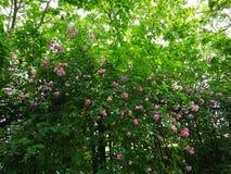 Rosa multiflora Arkivfoton