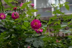 Rosa multiflora Thunb var carnea Thory Royaltyfri Bild