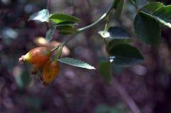 Rosa multifloraheupen (vruchten) Stock Fotografie